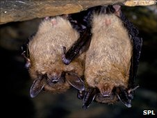 Little brown bats at roost