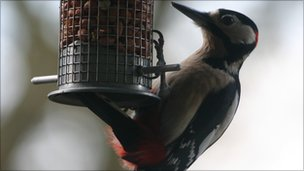 A great spotted woodpecker (Dendrocopus major) eating peanuts from a bird feeder.