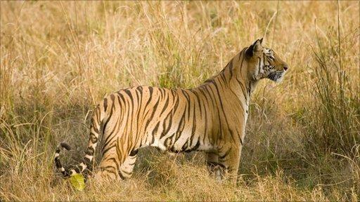 Indian Tiger