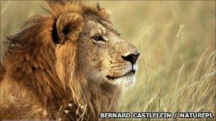Male lion (image: Bernard Castlelein/NPL)