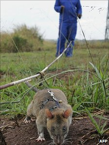 Rat searching for landmines 