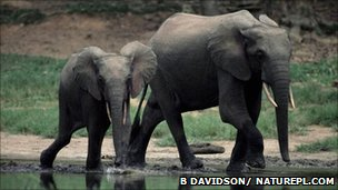 African forest elephants (Image: Bruce Davidson/ Naturepl.com)
