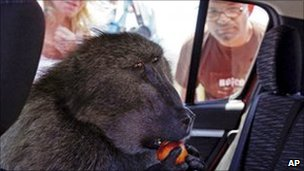 Fred the baboon eats a piece of fruit inside a car in Cape Town. File photo