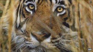 Tiger (Image: AP)