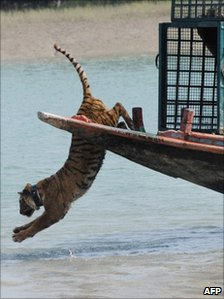 An Indian tigress wearing a radio collar jumps into the river from a boat as she is released by wildlife workers in the Sundarbans in February 2010