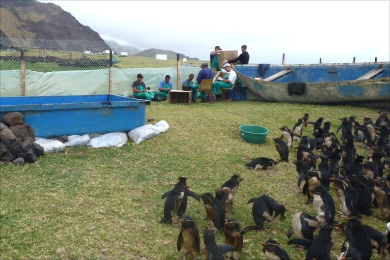 Rockhopper penguins at rehabilitation centre on Tristan da Cunha (Image: RSPB)