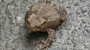 A toad crossing a wet road