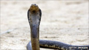 A file photo of an Egyptian cobra