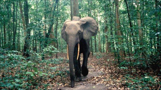 Forest elephant (Image: Stephen Blake)