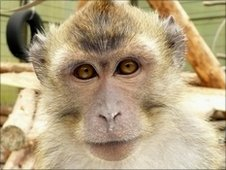 Long-tailed macaque (Image: German Primate Center)