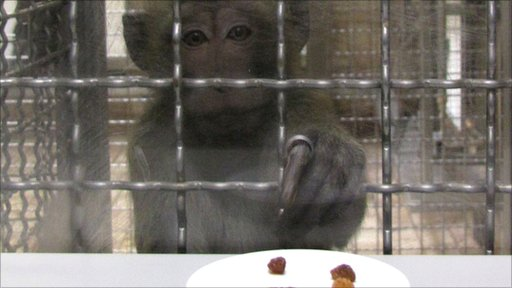 Long-tailed macaque in numeracy test (Image: German Primate Center)