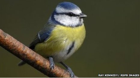 Blue tit, Parus caeruleus, perched on branch in garden. Co. Durham. October.