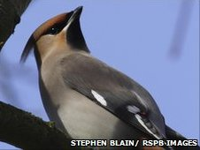Waxwing Bombycilla garrulus, perched in tree, Woburn, Bedfordshire, February.
