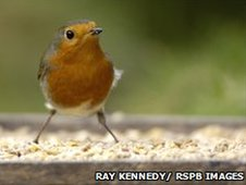 Robin, Erithacus rubecula, on bird table in garden. Co. Durham. October.