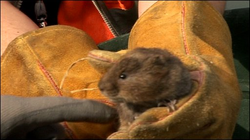 Water vole found living on building site