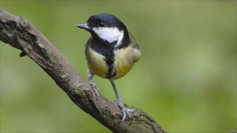 Tits Birds 52