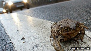 Toad on a road