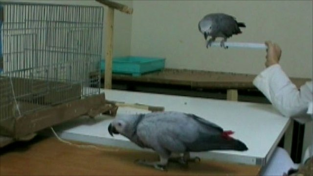 African grey parrots in collaboration task