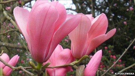Magnolia sprengeri 'Diva' at the Westonbirt National Arboretum (Image: K.Podlewska/Forestry Commission)
