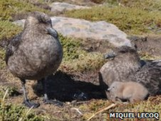 Falkland skuas nesting with chick (Image: Miguel Lecoq)
