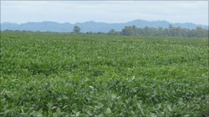 Field of soy beans 