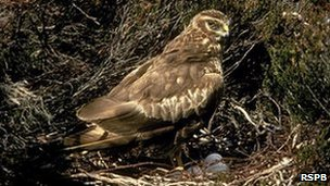 Nesting hen harrier