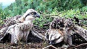 Ospreys at Bassenthwaite