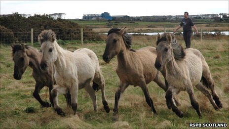 Konik horses at Loch of Strathbeg [Pic: RSPB Scotland]