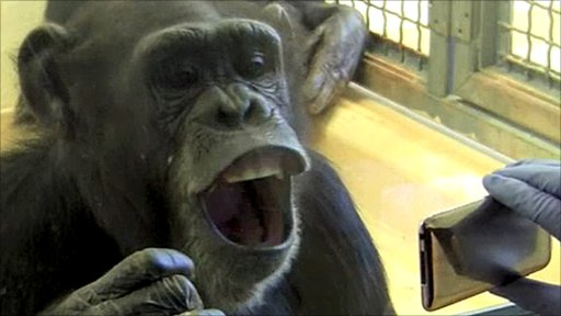 Yawning chimp (Image: Emory University)
