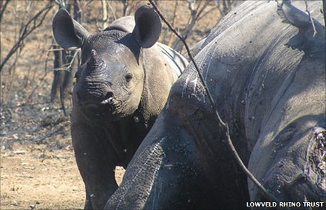 A baby rhino next to its slaughtered mother (Image: Lowveld Rhino Trust) 