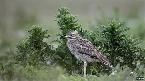 A stone curlew (picture courtesy of RSPB)