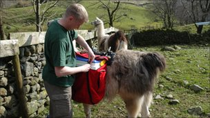 Loading eggs onto llama