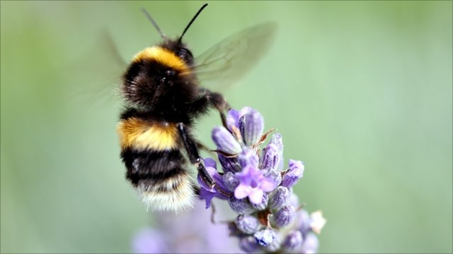 Bumble bee feeding on lavender flowers
