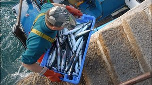 Mackerel catch in Cornwall, UK - file pic