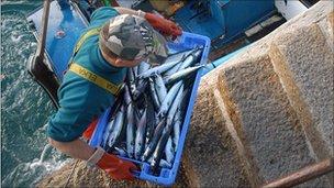 Mackerel catch in Cornwall, UK - file pic