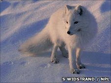 An arctic fox in its winter coat (c) Staffan Widstrand / NPL
