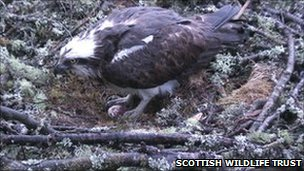 Female osprey at Loch of the Lowes nest in 2010 