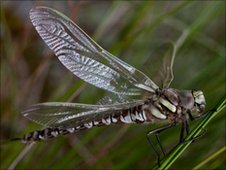 The White-faced Darter