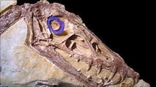 Scaphognathus crassirostris fossil (L Schmitz)