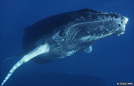 Humpback whale (Image: Brandon Cole/ NPL)