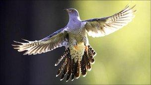 Cuckoo (Image: Photolibrary.com)