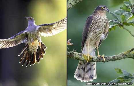 Cuckoo (Image: Photolibrary.com) and sparrow hawk (Image: David Kjaer/NPL)