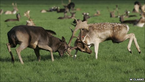 Fallow deer fight in Phoenix Park (c) William Clarke, University College Dublin