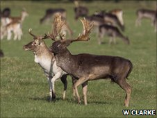 Fallow bucks walk in parallel (c) William Clarke, University College Dublin