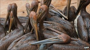 Oil covered brown pelicans found off the Louisiana coast after the oil spill