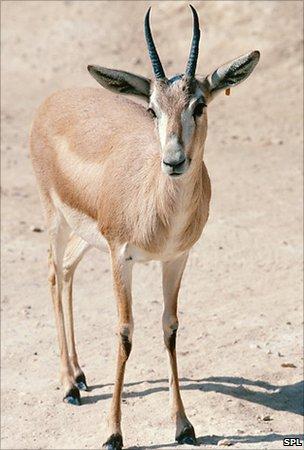 Gazelle (SPL)