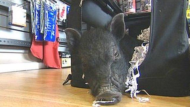 Patrick the micro pig
