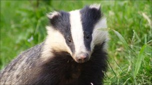 Badger