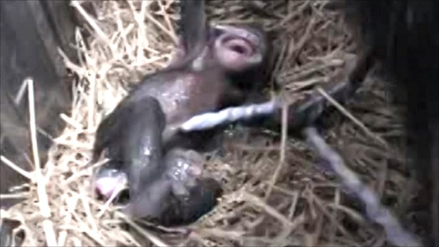BBC - Earth News - Chimpanzees give birth 'like humans'