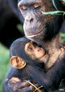 Female chimp with baby (Image: Science Photo Library)